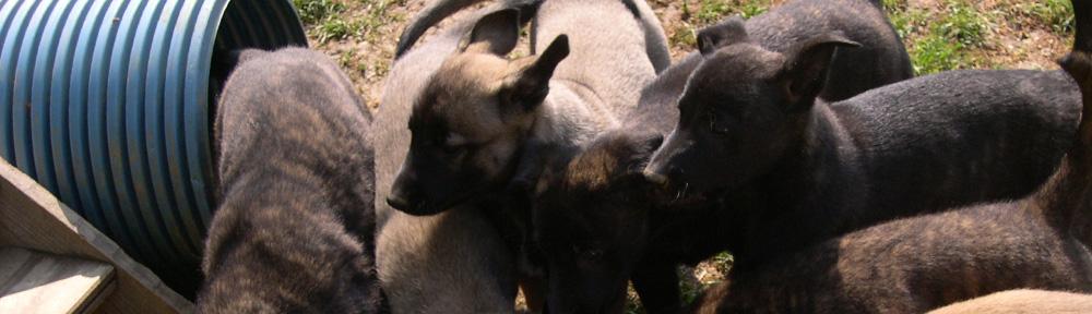 Hollandse Herder vom Saggautal